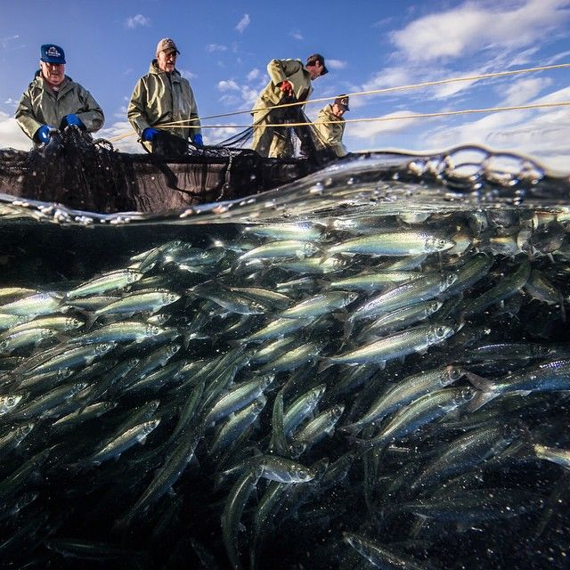 Fisherman work hard to haul in a herring trap off Raleigh #Newfoundland in the  Belle Isle Straits. I put on a tank and submerged inside the big net  to experience capture from the fish's perspective. Herring capelin and mackerel are important forage fish #fisheries in the #GulfofStLawrence. From @natgeo story Generous Gulf. @natgeocreative @thephotosociety @the_explorers_club #ocean #life #death #splitimage @seacam #nikonnofilter #extreme #explore for #moreocean follow @daviddoubilet…