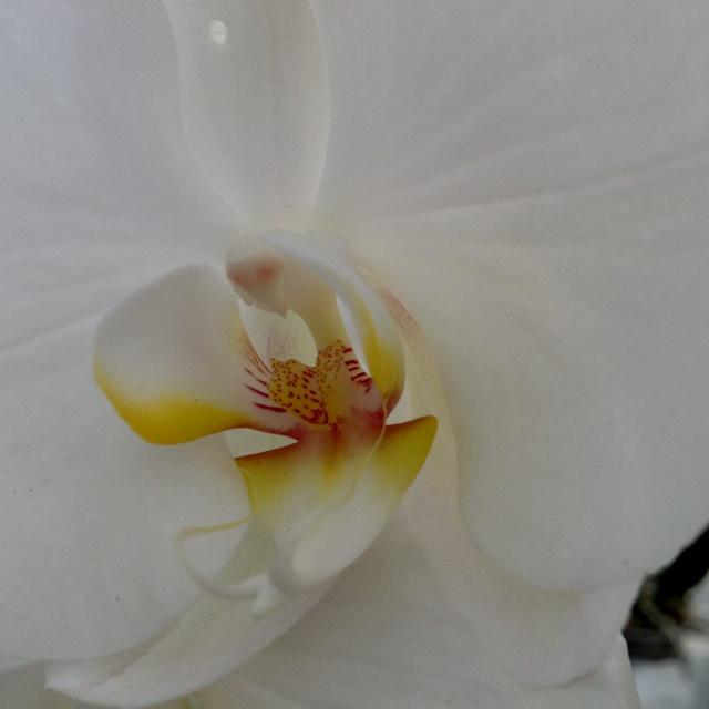 #orchid #phalenopsys #white