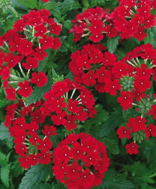 Red Verbena.  These are the truest REAL RED flowers  when dried.  Very nice.