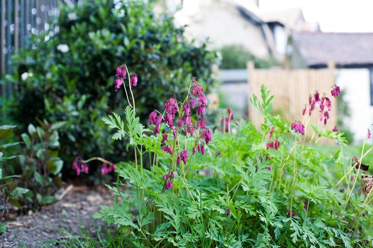 Dicentra 'Adrian Bloom' in the woodland bed.  This plant is happy in partial shade