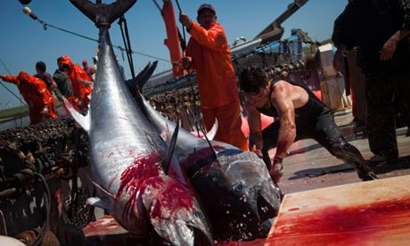 This makes me really sad. Bluefin tuna fishermen