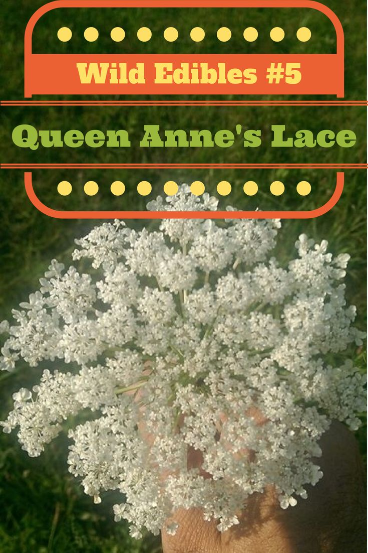 The Rural Economist: Wild Edibles #5 Queen Anne's Lace or Wild Carrot