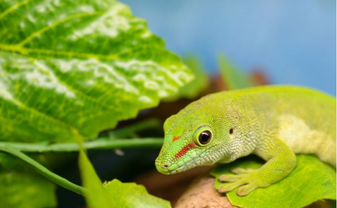 ヒルヤモリの飼育方法 人気の種類や餌 紫外線ライトは必要 Woriver ヤモリ クレステッドゲッコー トカゲモドキ