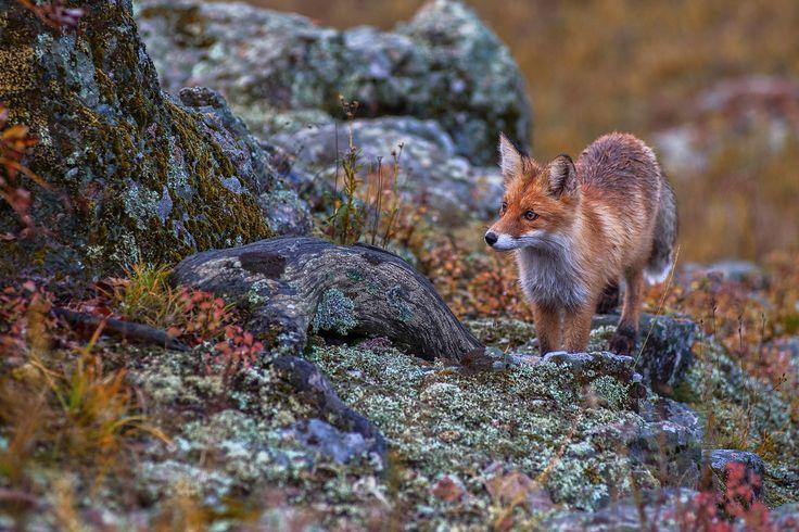 Любопытный рыжий гость — National Geographic Россия