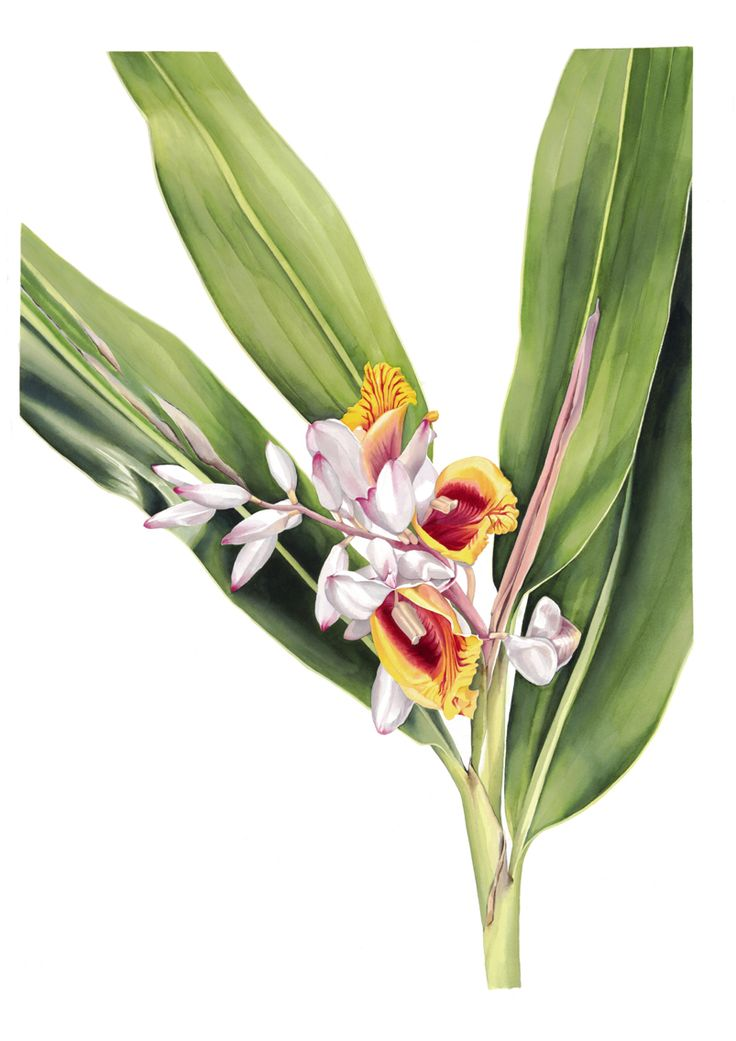 'Alpinia zerumbet - Shell Ginger' by Pip Spiro. Watercolour on Arches paper, 730x900mm. Exhibiting at Botanica at Roual Botanic Gardens on Sydney. #botanical #australian #ginger