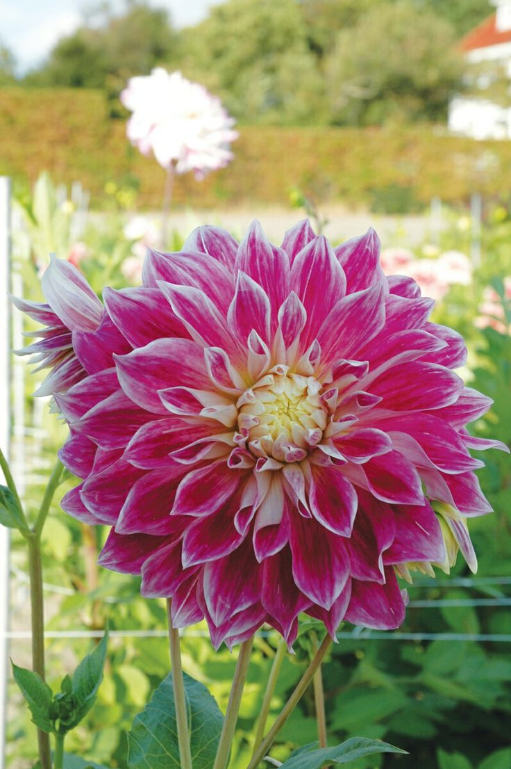 738 best dahlias images on pinterest | flowers, plants and pretty