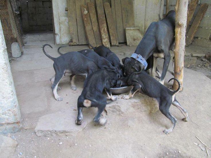 Kanni dog photo | Kanni Price in India,Kanni puppy for sale