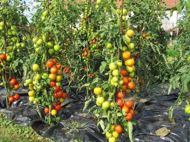 """""""Этот способ выращивания помидоров мне довелось увидеть в прошлом году на одном из соседских участков. Увиденное просто поразило: На огороде, на расстоянии примерно 1,2 метра друг от друга стояли, ка…"""