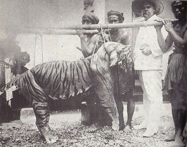 A male balinese tiger killed in the early 1900s