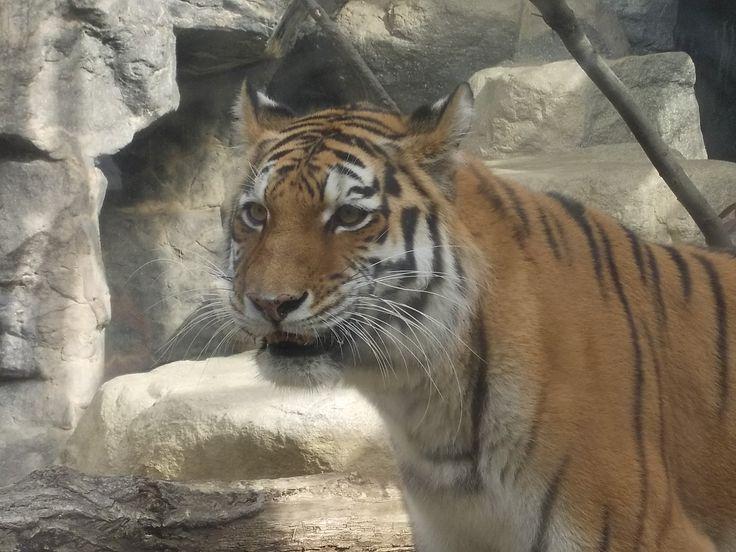 王子動物園のトラさん