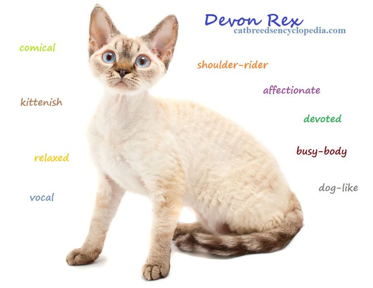 The Devon Rex cat is an amazing, curly-haired cat that doesn't shed..
