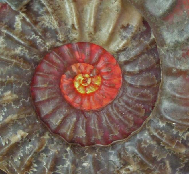 Ammonite - A truly wonderful fossil. Approximately 200 million years old.