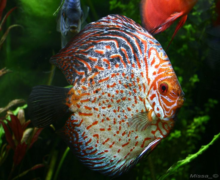 371 best images about discos on pinterest cichlids red for Live discus fish for sale