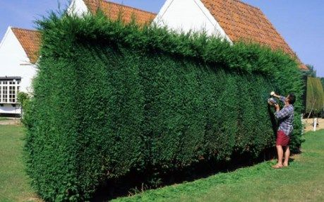 Trimming a Leylandii hedge
