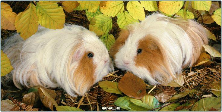 Из серии необычные домашние животные - Ангорские свинки - Мини-пиг - Кролики  #животные #россия #animal #animals #russia #pig #домашние #москва #спб #самара #тула