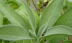 Salvia, l'erba alleata delle donne