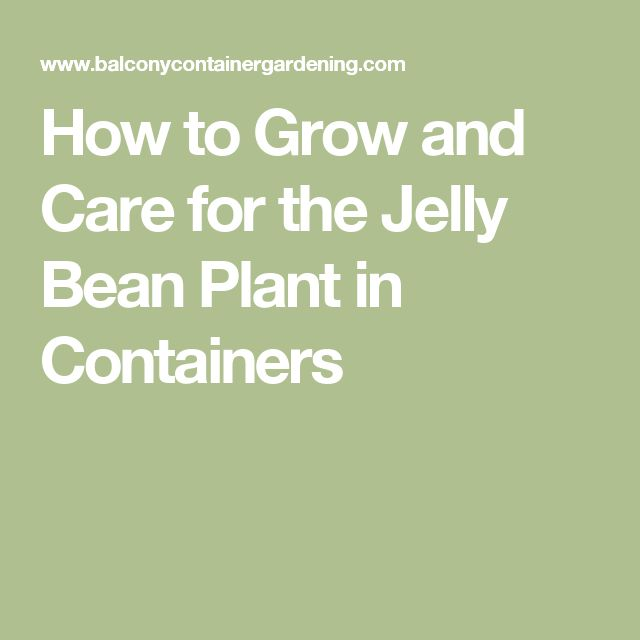 How to Grow and Care for the Jelly Bean Plant in Containers