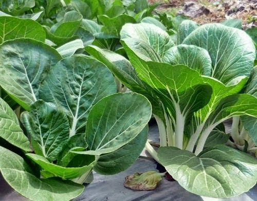 ROMA, Artikel, Pertanian, Pupuk, Sayuran, Organik, Tips dan Trik, Caisim, Sawu