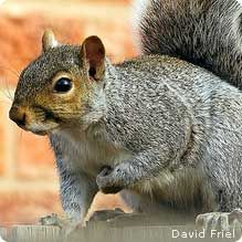 January 21 is Squirrel Appreciation Day.  Join the Naitonal Wildlife Federation in honoring this wonderful little critter!