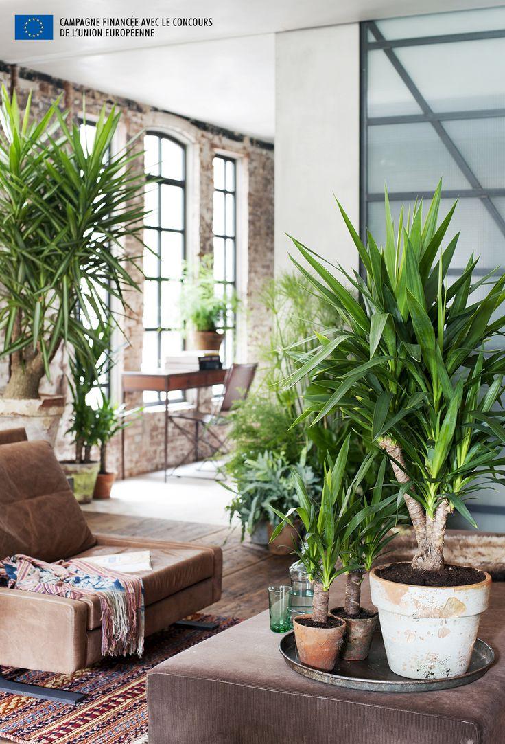 Placez votre Yucca dans un endroit clair, mais vitez le plein soleil ct  sud,  Large Indoor PlantsYucca ...