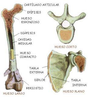 Clasificación de los huesos del esqueleto humano: Hueso largo, hueso corto y…