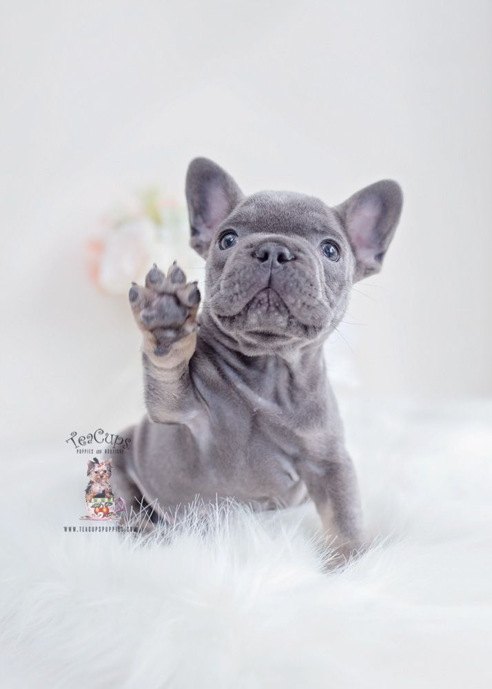 Blue Tan French Bulldog Puppy For Sale Teacup Puppies 130 A