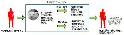 SIRT1遺伝子の活性化でうつ病になりにくくなる可能性-山口大とAMED