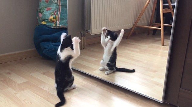 Dance: The cat performs some dance moves in front of the mirror but can't seem to figure out it's his own reflection