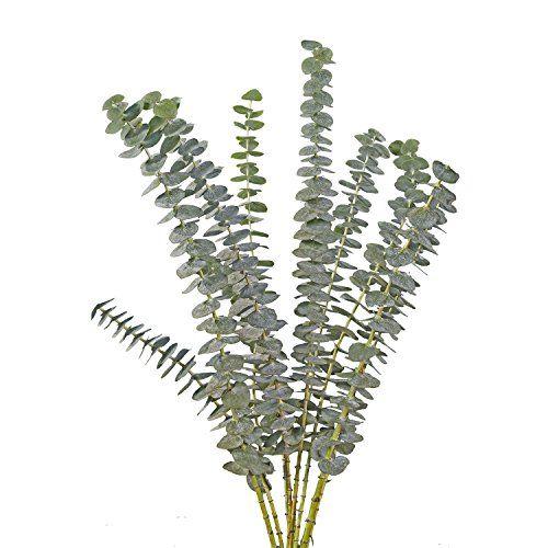 50 Fresh Cut Eucalyptus Flowers | Fresh Flowers Wholesale... https://www.amazon.com/dp/B0081SHOPW/ref=cm_sw_r_pi_dp_x_Bpt5xbAPV3QD0