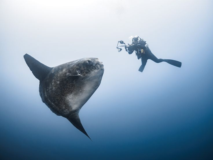 MONSTER OF THE DEEP Humongous 10-foot long ocean sunfish poses for photos for British diver in Bali