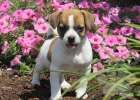 Jug Puppy For Sale From Christiana, PA