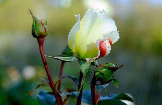 Rady nejen do zahrady     : Růže je královna květin