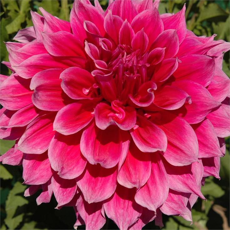 "Dahlias bloom from mid summer until frost, and come in small bedding sizes to large 3 foot plant.  plant tubers in late spring after soil is warm, when put tomatoes out.  full sun. dont water until sprout out of soil, they are prone to rot. fertilize every 2 weeks LOW in N. when 6"" tall pinch to 3rd set of leaves to encourage busheier. hardy to zone 7, dig before 1st frost"
