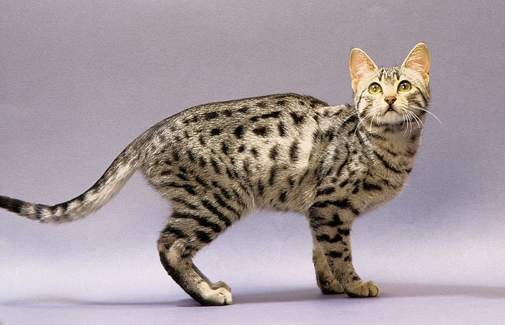 Egyptian Mau Cat, my mom had one of these and that cat wouldn't leave her side let alone if someone came up to my mom the cats eyes would glare.