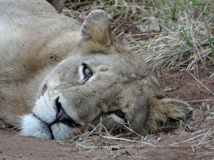 Beautiful lioness at Nsemani Dam