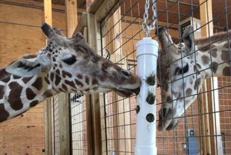 #Watch live video: April the 'big and beautiful' pregnant giraffe - fox2now.com: Watch live video: April the 'big and beautiful' pregnant…
