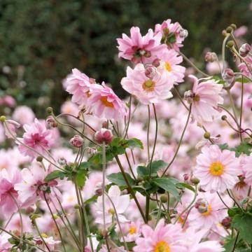 Anemone Japonica-Hybride 'Königin Charlotte'