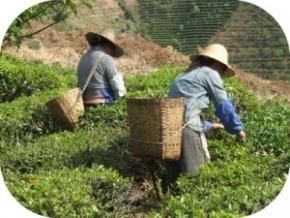 Der Pu-Erh Tee soll beim Abnehmen helfen und wird auch Fettkiller genannt. Wissenschaftlich lässt sich die Wirkung als Fatburner nicht nachweisen, der Tee kann sogar gesundheitsschädlich wirken.