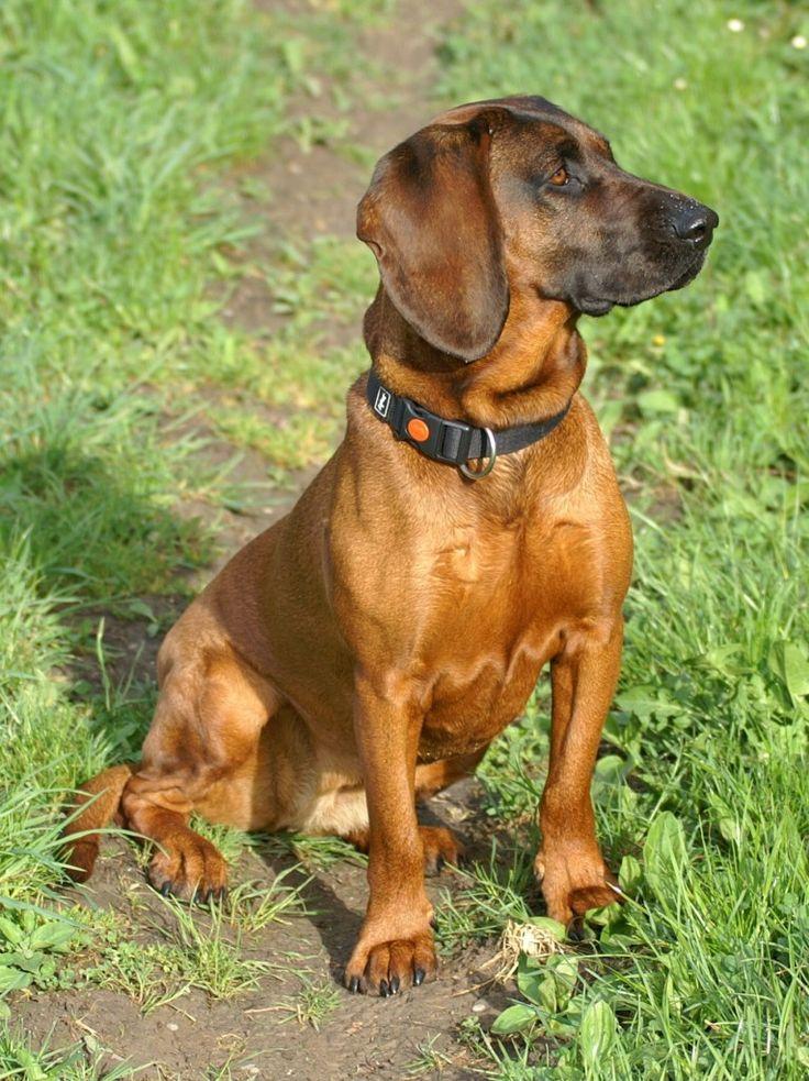 bavarian dachshund...what a cutie