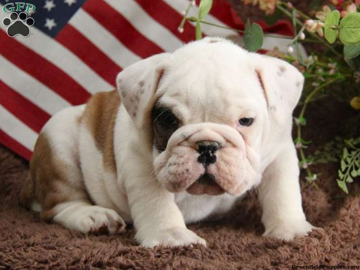 English Bulldog Pictures With Images Funny Bulldog Pictures