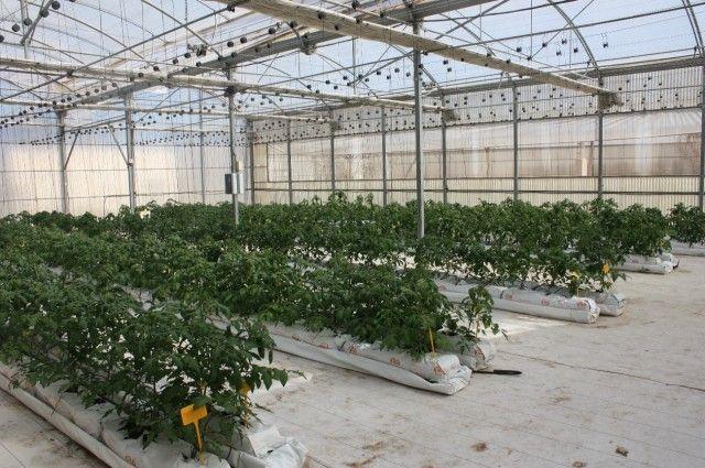 Agricultura analiza diversos tipos de tomate en cultivo hidropónico sobre fibra de coco en invernadero