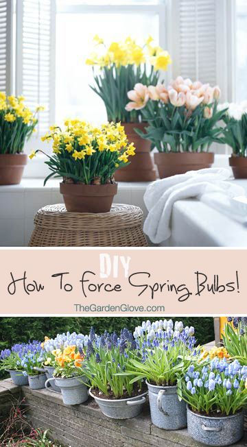 How To Force Spring Bulbs. Garden BulbsGarden TipsGarden ...