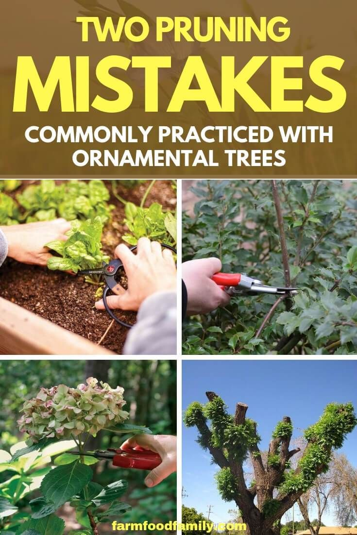 2 Pruning Mistakes Commonly Practiced With Ornamental Trees Ornamental Trees Prune Plant Care