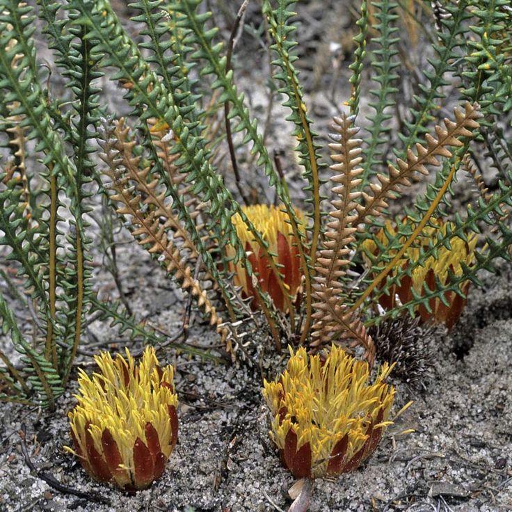 Australian Seed - DRYANDRA obtusa syn. BANKSIA obtusa