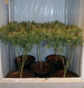 Marijuana tips & tricks - Grow huge buds with pruning  Visit Green Dream Health Services  6700 Lookout Rd. Boulder, CO 80301 303-530-3031 greendreamhealth.com
