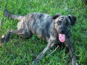 Faith is an adoptable Catahoula Leopard Dog Dog in Bradenton, FL. Faith was found wandering around in Tampa. She is very gentle and I have yet to hear her bark. Faith has the most gentle spirit. She i...