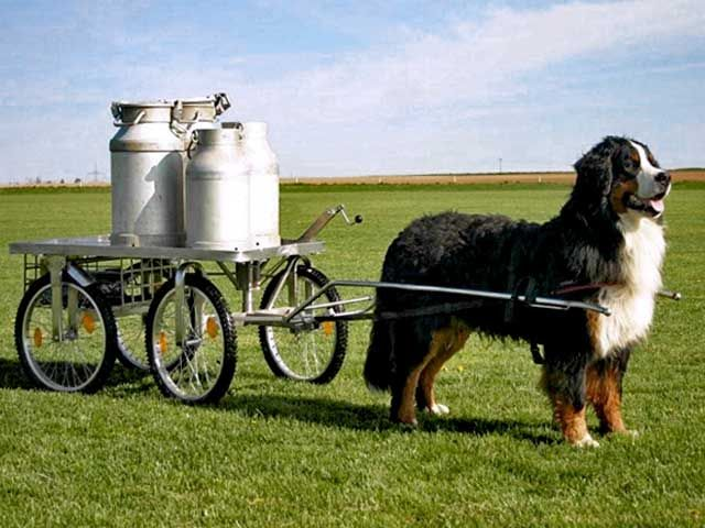 Bernese Mountain Dog: The breed was used as an all purpose farm dog for guarding property and driving dairy cattle long distances from the farm to the alpine pastures.