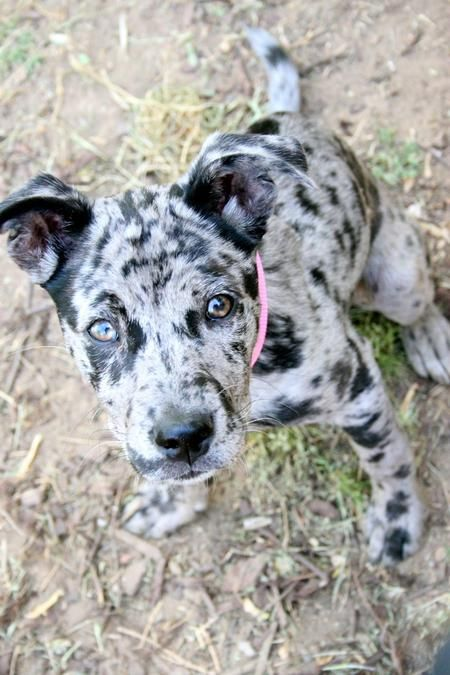 Catahoula Puppy.  So cute! Love the colors.