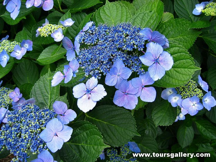 See Japanese Hydrangea in May with Toursgallery.com on Best of Japan Tour.