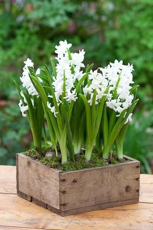 hyacinth indoors or outdoors look lovely.  Love these planted in the old wooden box